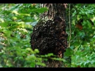 Боюсь,  нас сверху не только травят... Об этом пока никто не рассказывал. Рак деревьев.