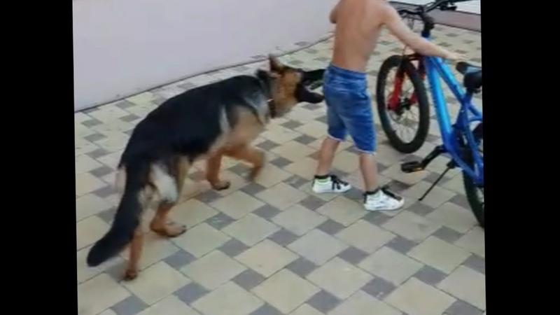 Бесконтрольная немецкая овчарка Часть 1 Дети игры и велосипед