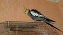 Захотелось попеть песен перед зеркалом Корелла поет песни. Весёлый попугай.