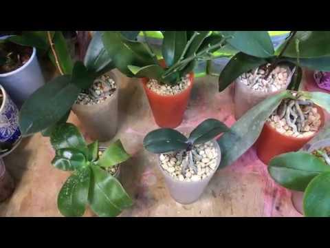 Цеофлора для орхидей. Мой опыт посадки орхидей в субстрат