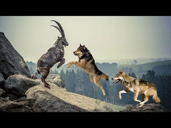 ВОЛКИ В ДЕЛЕ Волки против Койота Лося Бизона и даже Медведя