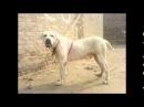 Бойцовые собаки Пакистанский мастиф