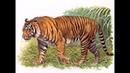 Живой или вымерший Яванский тигр