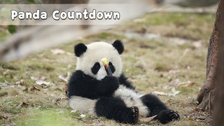 【Panda Countdown】Naughty Baby Panda | This Kiss Tastes Like Milk | Cutest Leg Hanger | iPanda