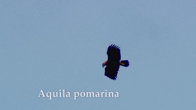 Aquila pomarina 🇫🇮 Pikkukiljukotka 🏴 Lesser Spotted Eagle 🇷🇺 Малый подорлик 🇵🇱 Orlik krzykliwy