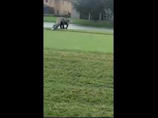 """Огромный аллигатор вышел из водоёма во время прохождения тропического шторма """"Эта"""" ( Нейплс, Флорида, США, )"""