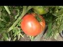 Трескаются помидоры в теплице и в открытом грунте. Почему лопаются томаты причина и что делать