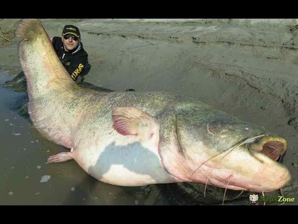 Мировой рекорд Самый большой сом 190 кг