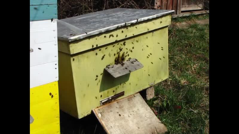 Облёт молодых пчёл