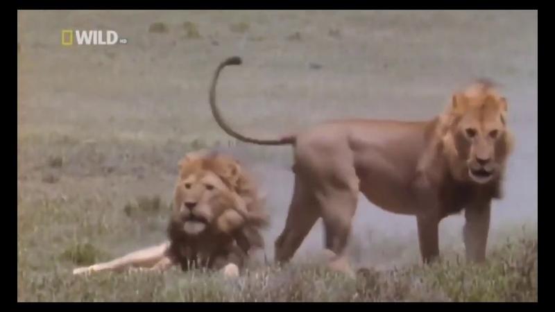 ЛЬВЫ Африканские суперхищники дикой природы Документальный фильм NAT GEO WILD animal planet