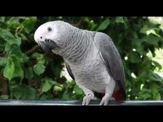 Orijinal Papağan Jaco'nun Sesi