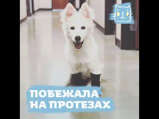 Собака Хэйло бегает на протезах