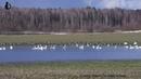 Лебединая лужа Подмосковья - ночная стоянка гусей на пролёте до открытия весенней охоты 04.2021