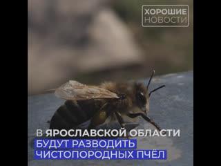 В Ярославской области будут разводить чистопородных пчел