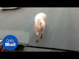 Hilarious moment pig sassily struts it's stuff down a busy road