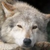 Волчек Волчек