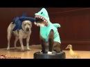Кот-динозавр гоняется за утенком на робо-пылесосе!
