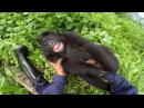 GoPro Gorilla Tickling at the GRACE Center