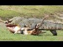 Животный Мир, Крокодилы на Охоте, Жесть