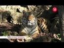 Время говорить За тигром с фоторужьём