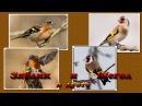 Пение птиц : Зяблик и Щегол в дуэте. Relax.