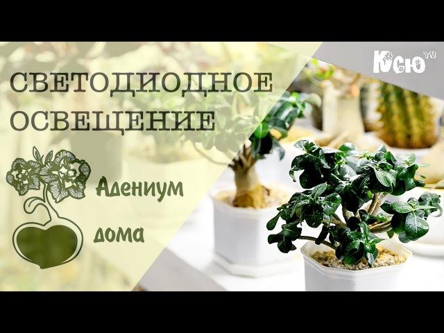Адениум дома: Светодиодное освещение комнатных растений.