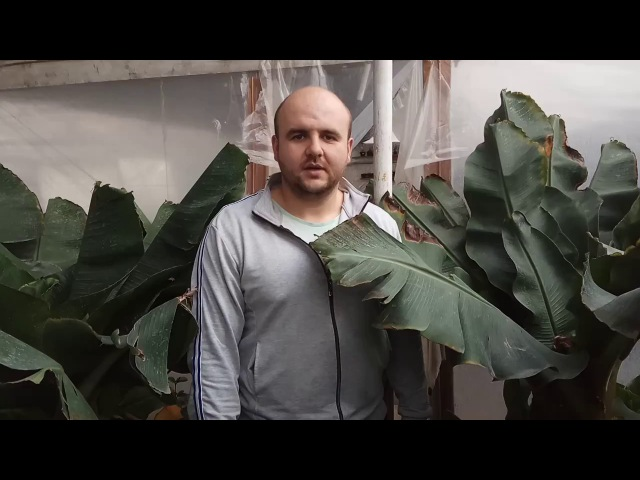 Цвітіння банана в домашніх умовах Як цвіте банан Как цветет банан