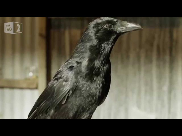Gift giving crows World's Weirdest Events Episode 5 BBC Two