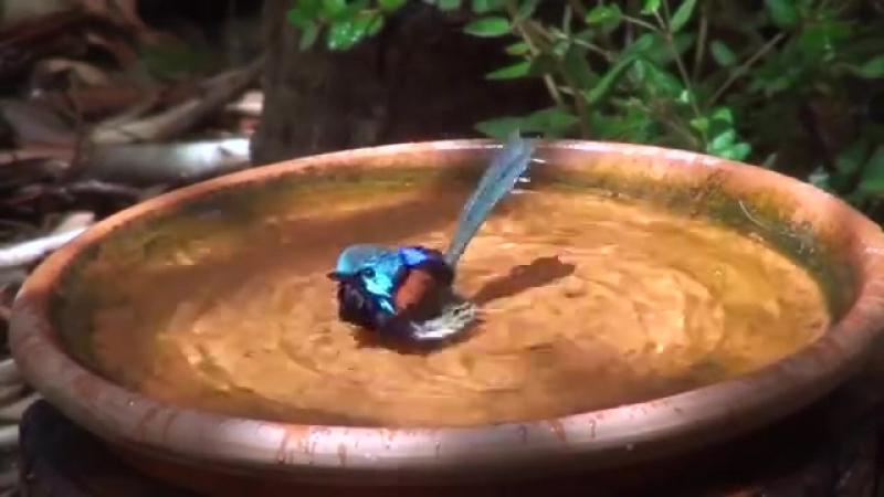 Разноцветный расписной малюр (лат. Malurus lamberti) на водных процедурах.
