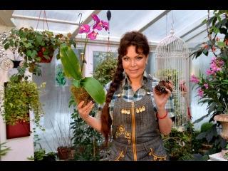238  Орхидея в сосновых шишках.