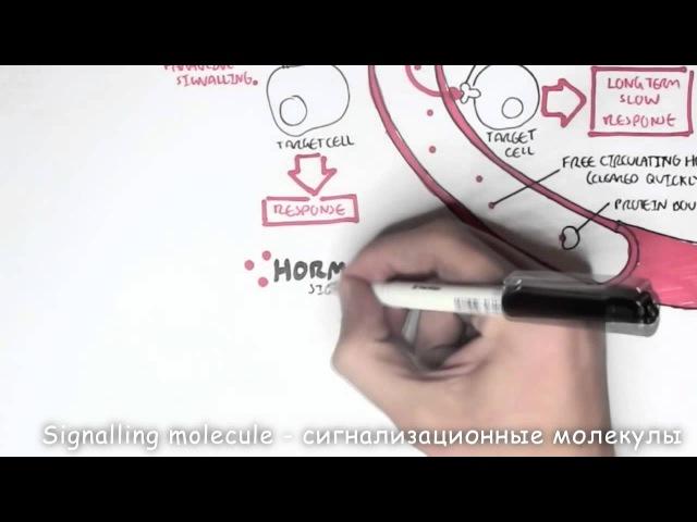 Эндокринная система часть 1 HD качество