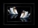 Владимир Захаров- Два белых лебедя.