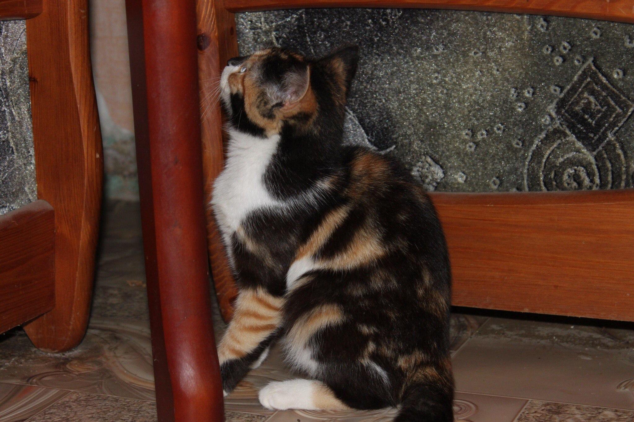 Ищет любящий дом трёхцветная красавица, ей примерно 5 месяцев.