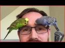 Смотреть самые смешные поющие попугаи видео 2017 3 видео приколы