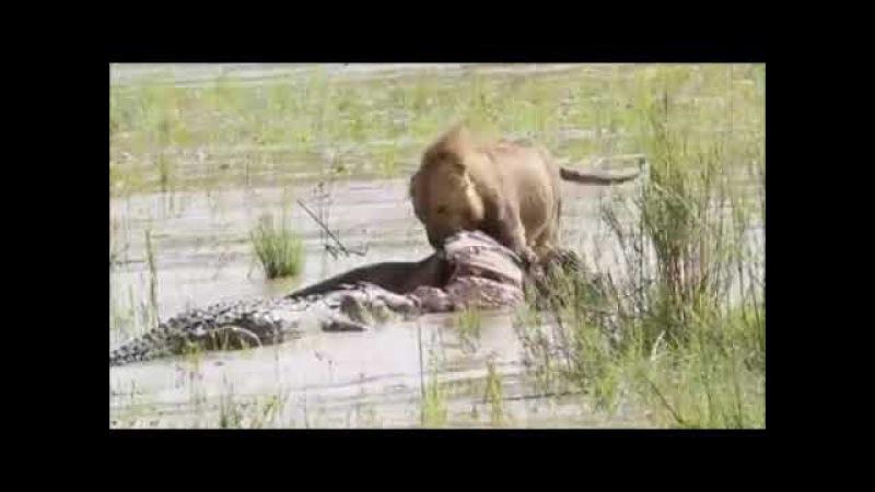 Самец льва и нильский крокодил борются за тушу буйвола (Tug of war between sand river male lion and crocodile for the carcass...)