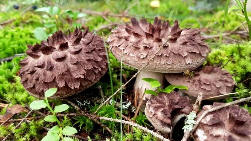 Малоизвестные съедобные грибы ЕЖОВИК ПЕСТРЫЙ среди других грибов 0