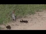 Карликовый мангуст притворяется мертвым, чтобы поиграть с ничего не подозревающей птицей в южноафриканском заповеднике