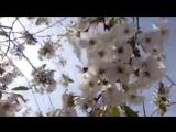 Зимняя вишня.В память о погибших.