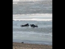Жители Хабаровска втроём спасли провалившуюся под лёд собачку