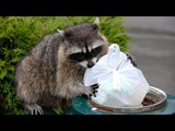 Sneaky Raccoons Stealing Food Compilation (2017)