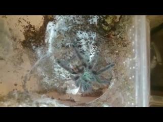 Кормление приехавшего самца Caribena versicolor [BESTIARY]