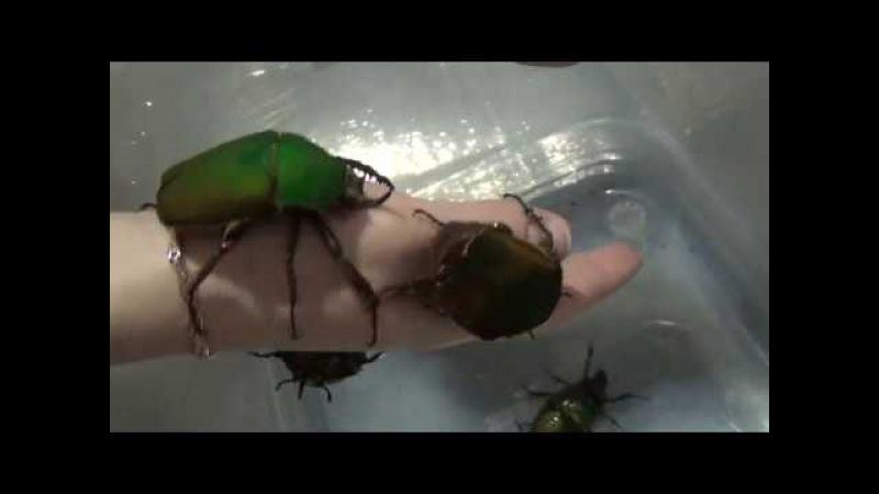 Крупные жуки Mecynorrhina torquata immaculicollis на руке