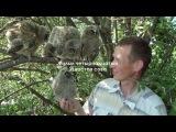Ушастая сова - Милые совята - Интересные факты из гнездовой жизни совы - Птицы Рос...