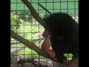 Гималайскому медведю удалили гигантскую опухоль на языке