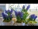 Технология ВЫГОНКИ луковичных растений в домашних условиях