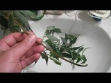 ивовая ветка для аквариума willow branch for aquarium
