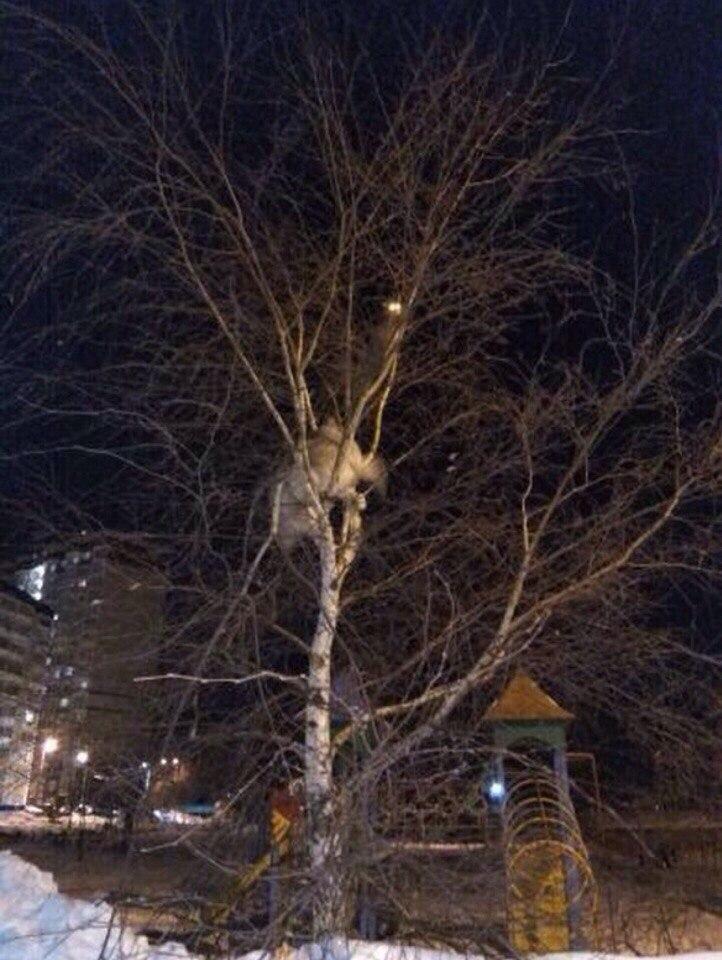 Хаски залез на дерево в погоне за котом | Изображение 1
