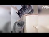шиншиллы против кота