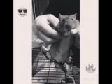 Ганста крыс