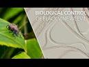 Biological control of black vine weevil - Heterorhabditis bacteriophora